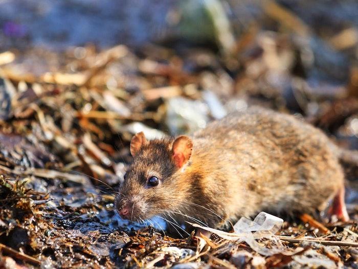 Rat Outside Min